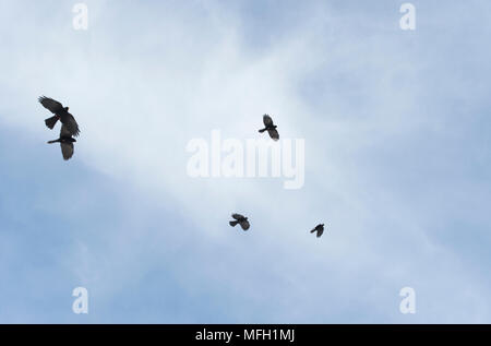 Alpine Chough or Yellow-Billed Chough, (Pyrrhocorax graculus),in flight, Bavaria, German and Austrian Alps - Stock Image