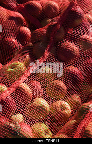 Harvested Macintosh apples in fishnet bags, - Stock Image