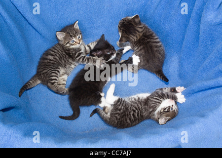 Domestic Cat, Four Kittens playing in basket, , Lower Saxony, Germany - Stock Image