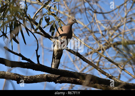 An Australian, Queensland Spotted Turtle-dove ( Streptopelia chinensis ) perched on a tree branch - Stock Image