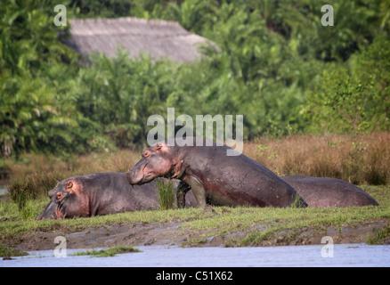 HIPPOPOTAMUS ( Hippopotamus Ampibius ) Saadani National Park Tanzania  Back ground Saadani river lodge - Stock Image