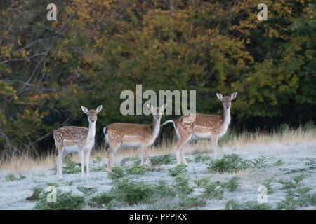 Fallow deer, Dama dama, in Kent parkland on a frosty autumn morning.Three young females looking into the camera. - Stock Image