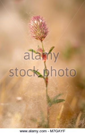 Small meadow flower covered with poplar fluff - Stock Image