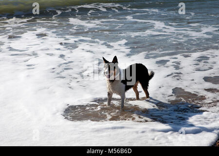 Collie dog standing in the sea - Stock Image
