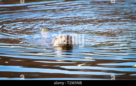 An adult male (dog) Eurasian otter (Lutra lutra) swims in the River Severn in the town of Shrewsbury, Shropshire, England. - Stock Image