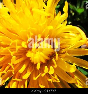 Dandelion flower close up - Stock Image