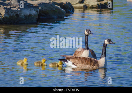 Canada Geese parents (Branta canadensis) swimming with young goslings in pond, Aurora Colorado US. Photo taken in May. - Stock Image