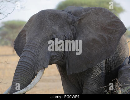 African Elephant approaching bush to eat some leaves. - Stock Image