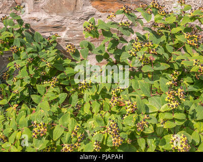 Black berries of Tutsan [Hypericum androsaemum] in sunshine. Tutsan was used as a medicinal herbal wound plant, and is related to St. John's Wort. - Stock Image