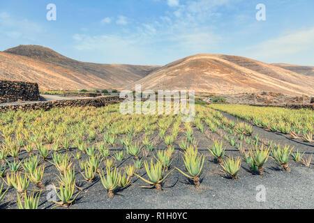 Aloe Vera plants on a plantation near Orzola Lanzarote Spain - Stock Image
