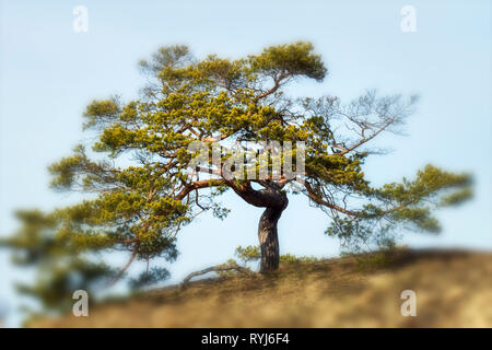 Tree with gnarled branches on hill under blue sky horizontal with flare - Stock Image