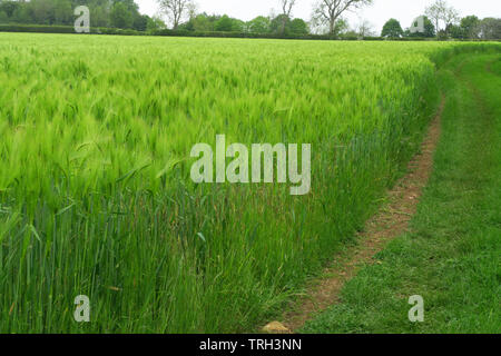 Field of barley near the north Oxfordshire village of Hook Norton - Stock Image