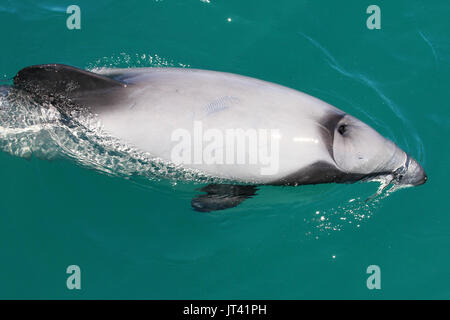 Hector's Dolphin (Cephalorhynchus hectori) surfacing next to the dolphin watching boat, checking out the people on board - Stock Image
