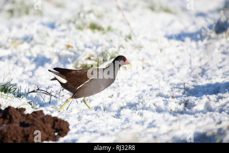 Common Moorhen, Gallinula chloropus, walking on snow on a cold wintry day, past a freshly pushed-up molehill. - Stock Image