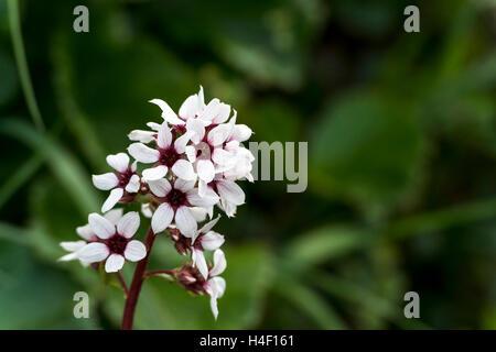 Bear Flower (Boykinia richardsonii) wildflower, Denali National Park, Alaska - Stock Image