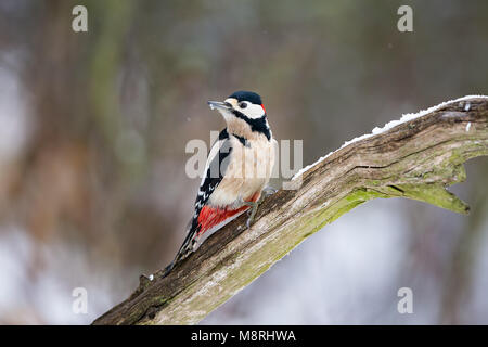 Great-spotted Woodpecker (Dendrocopos major) perching on a dead branch in Woodland, Lincolnshire, England - Stock Image