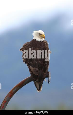 Bald Eagle in Ketchikan, SE Alaska - Stock Image