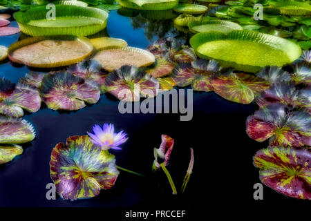 Star of Siam tropical water lily. Hughes Water Gardens, Oregon - Stock Image
