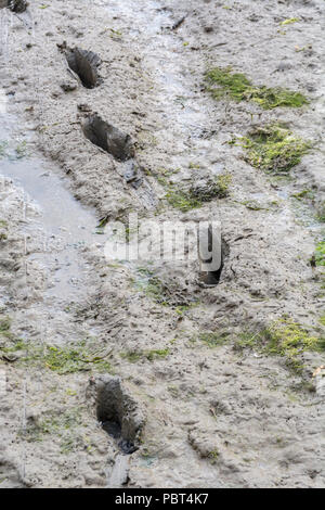Footprints in the muddy flats of a tidal river bed. Stick in the mud metaphor. - Stock Image