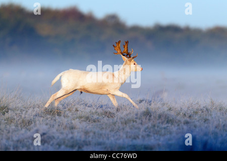 Fallow Deer (Dama dama), White Buck Running, during the Rut, Royal Deer Park, Klampenborg, Copenhagen, Sjaelland, - Stock Image