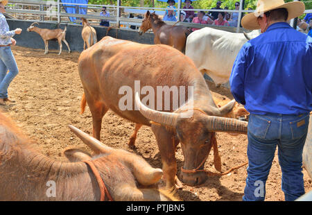 Tom Curtain the singing cowboy performing in his Outback Experience show in Katherine, bringing buffalo, steer, mule and donkey into the arena. - Stock Image