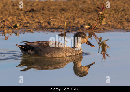 drake Gadwall (Anas strepera) swimming on a calm pond with a perfect reflection - Stock Image