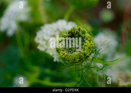 Ammi visnaga also known as Toothpick Weed and Blütenball - Closeup of new flower head (seed pod) beginning - Stock Image