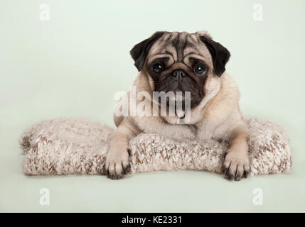 beautiful pug puppy dog lying down on fuzzy blanket, on pastel background - Stock Image