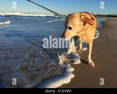 Labrador dog jumping out of wave at beach on the Gold Coast Australia - Stock Image