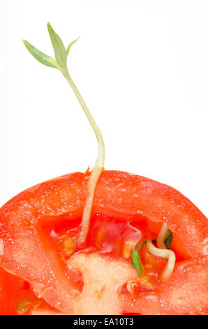 A tomato seed has germinated whilst still in the fruit. - Stock Image