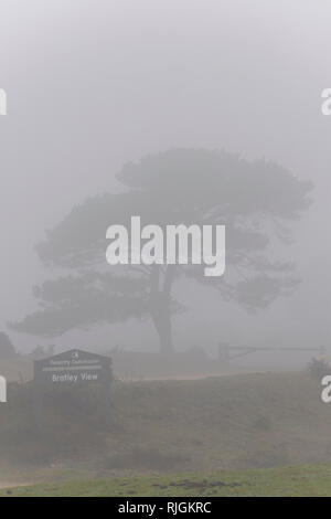 A lone scot pine tree at Bratley View in the New Forest national park in Hampshire - Stock Image