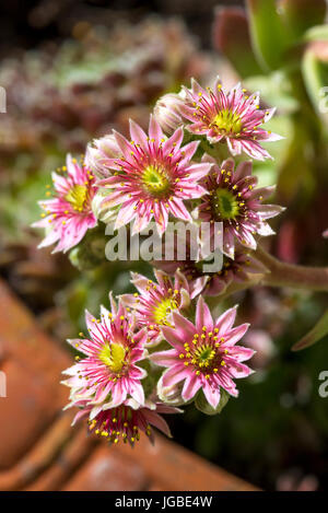 Sempervivum Hen and Chicks Houseleeks succulent plant in flower - Stock Image