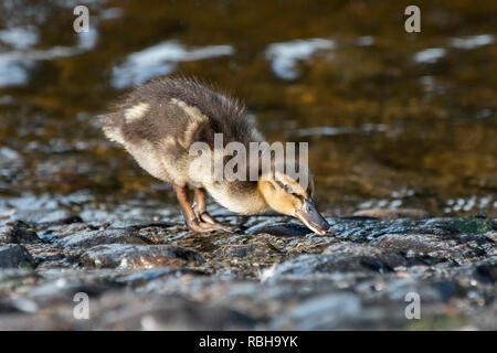 Mallard duckling (Anas platyrhynchos) foraging for food at bank of river suir. Cahir, Tipperary, Ireland - Stock Image