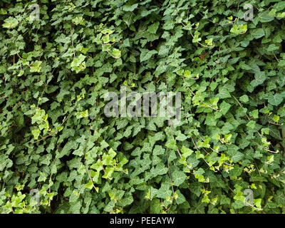 Green wall of a creeping plant ivy as a natural background texture - Stock Image