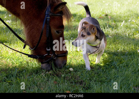 Cute very different domestic animals meeting eachother: Dog encounter grazing horse and looking into the eyes. - Stock Image