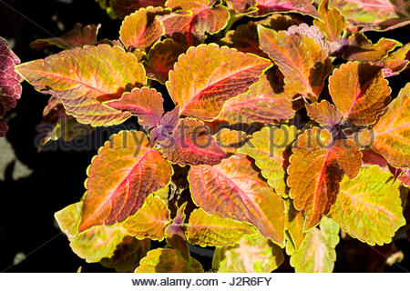 Coleus blumei, AKA Solenostemon scutellarioides, commonly called painted nettle, was photographed in Germany where - Stock Image