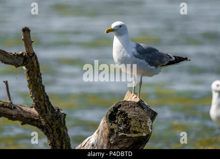 Mediterranean Seagull on a branch in the water in Danube Delta Romania - Stock Image