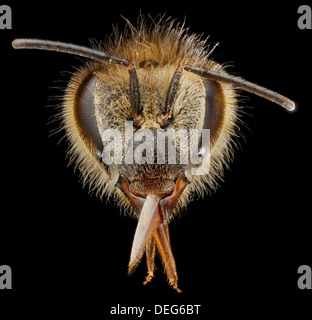 Macro view of a European honey bee face, Apis mellifera, note the hairs coming off the compound eyes a distinctive - Stock Image