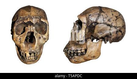Nariokotome Boy a.k.a. Turkana Boy - Homo ergaster (erectus) - Stock Image
