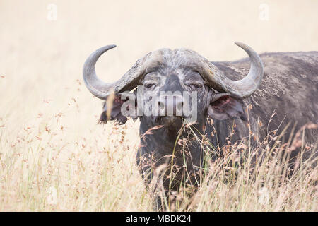 Adult Cape Buffalo (Syncerus caffer) portrait looking at camera from long grass - Stock Image