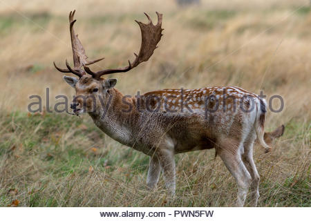 A fallo deer buck with fine palmate antlers with a stick caught in the hair under its jaw. - Stock Image