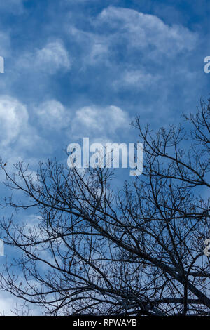 Clouds moving in over clear blue sky with silhouette of Plains Cottonwood tree in foreground, Castle Rock Colorado US. Photo taken in January. - Stock Image