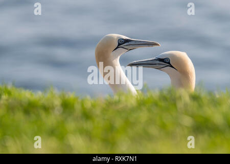 Northern Gannet ( morus bassanus) close up mated pair headshot at Cape St. Mary's,  Ecological Reserve Newfooundland Canada - Stock Image