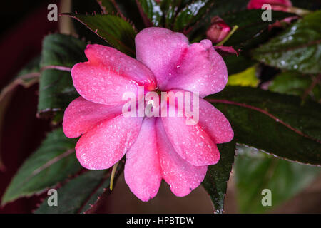 Depending on the type of pink, dianthus flowers appear in spring or summer and tend to be pink - Stock Image