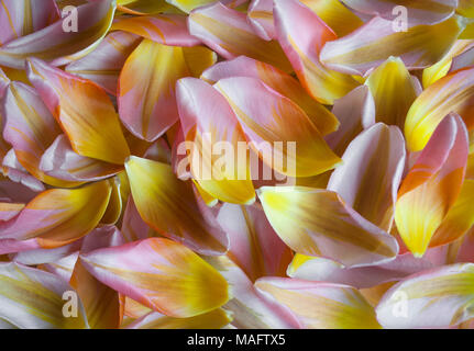 closeup of Dutch tulip petals, colorful spring backdrop - Stock Image