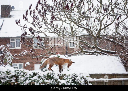 Red Fox, Vulpes vulpes, in winter snow standing on garden shed roof, London, United Kingdom - Stock Image