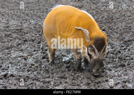A red hog - Stock Image