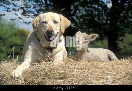 golden labrador and lamb sitting on haystack - Stock Image