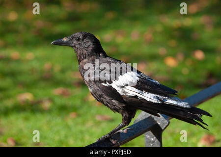 Carrion Crow, Corvus corone, with leucistic wing feathers-a form of abnormal pigment colouration in plumage, Regents Park, London, British Isles - Stock Image