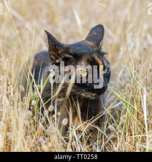 black domestic cat lying in dried plants.. suitable for animal, pet and wildlife themes - Stock Image